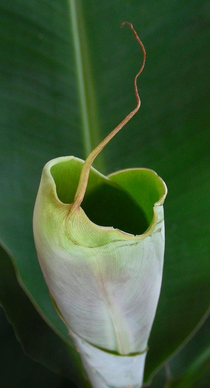 05-28-08-banana-leaf-opening.jpg